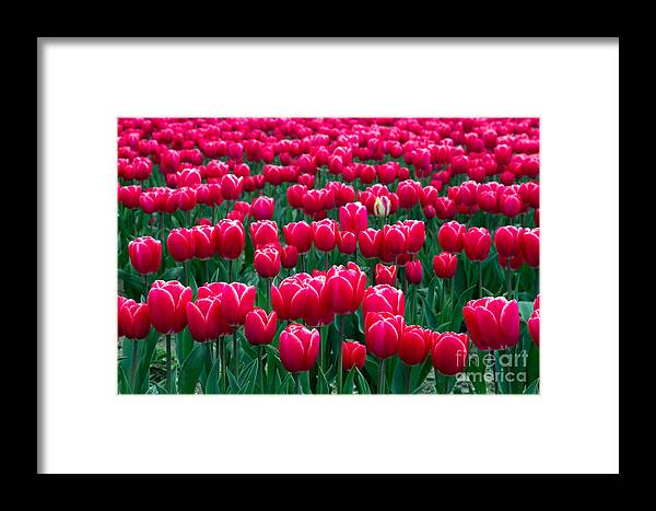 Skagit Valley Framed Print featuring the photograph Spring Tulips by David R Frazier and Photo Researchers