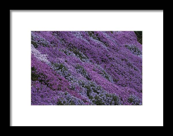 North America Framed Print featuring the photograph Springtime Phlox Brightens A Roadside by George F. Mobley