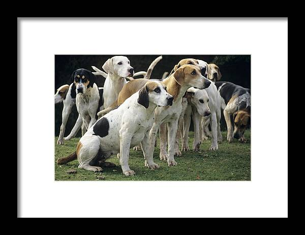Stag Hound Framed Print featuring the photograph Stag Hounds by David Aubrey