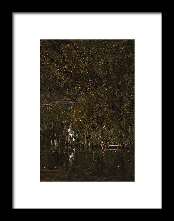 Heron Framed Print featuring the photograph Standing Guard by Steve Purnell