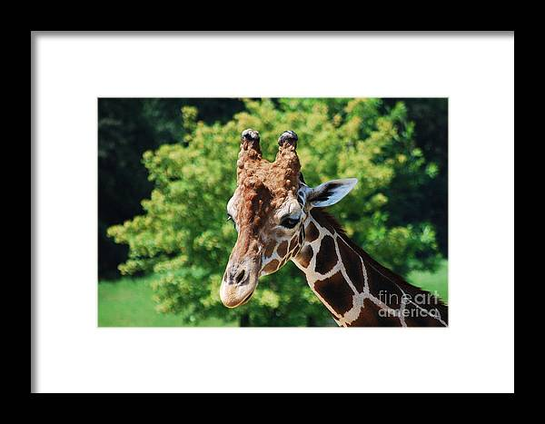 Giraffe Framed Print featuring the photograph Standing Tall by Monica Poole