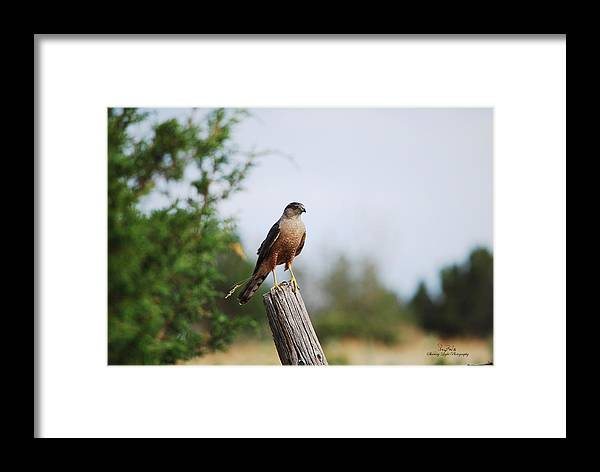 Falcon Framed Print featuring the photograph Standing Watch by Sheryl Cox