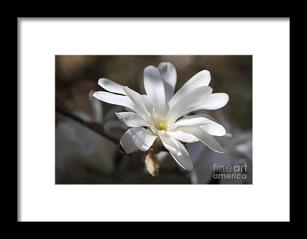 Close Up Framed Print featuring the photograph Star Magnolia by Terri Thompson