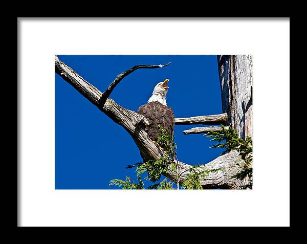 Animals Framed Print featuring the photograph Squawking Alaskan Eagle by Jean Noren