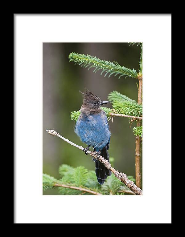 Mp Framed Print featuring the photograph Stellers Jay Cyanocitta Stelleri by Konrad Wothe