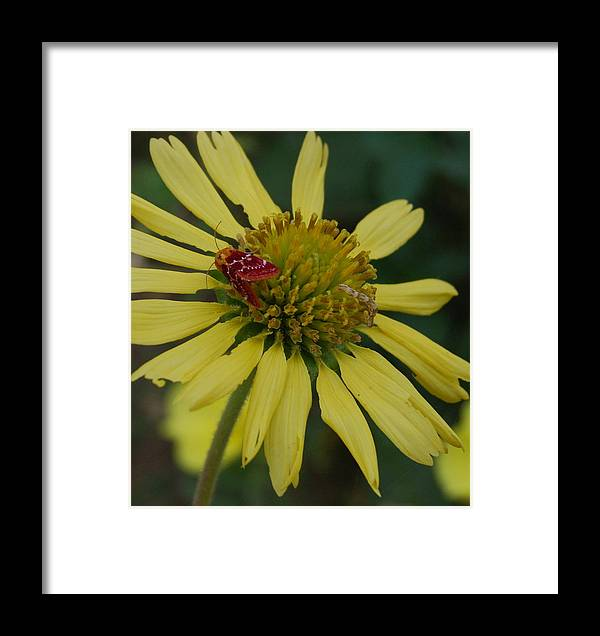 Flower Framed Print featuring the photograph Strawberry Moth On A Yellow Flower by Beth Gates-Sully