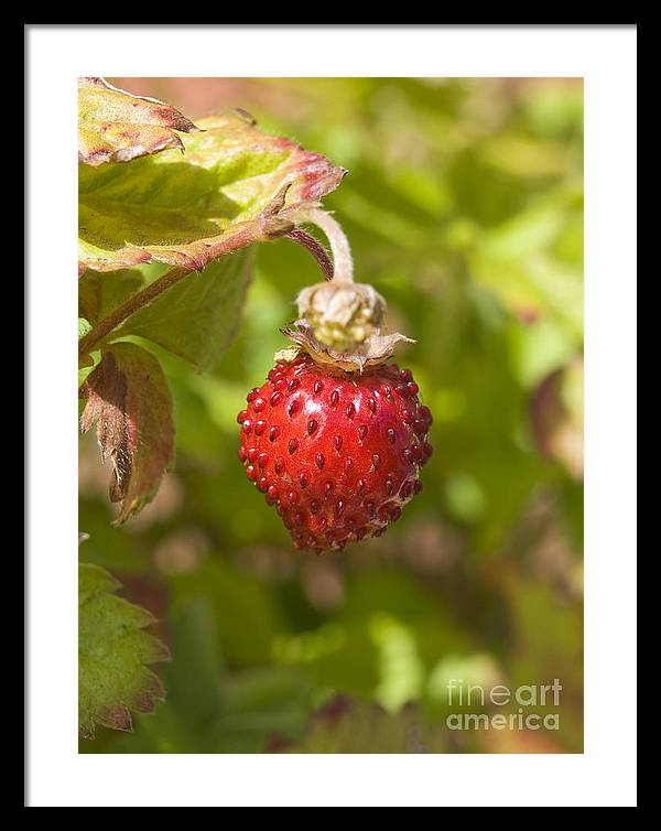 Strawberry Framed Print featuring the photograph Strawberry by Steev Stamford