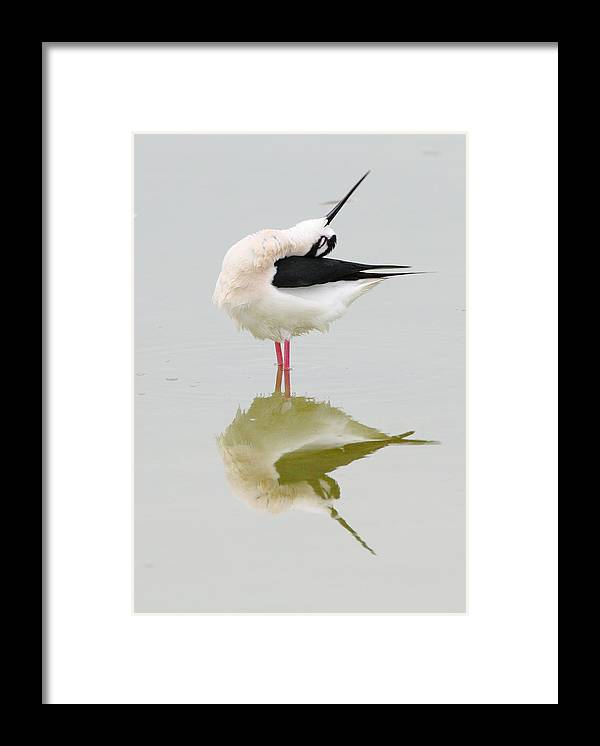 Black-necked Stilt Framed Print featuring the photograph Stretch by Andrew McInnes