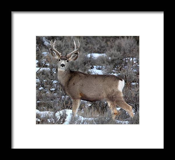 Buck Framed Print featuring the photograph Striking A Pose by Amara Roberts