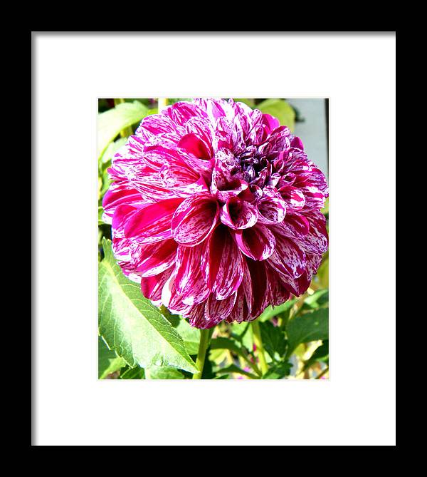 Landscapes Framed Print featuring the photograph Striped Dahlia by April Patterson