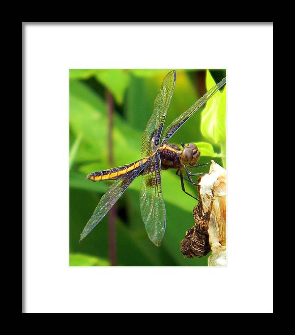 Dragonfly Framed Print featuring the photograph Striped Dragonfly by Mark J Seefeldt