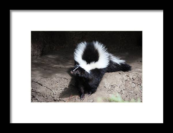 Northwest Trek Framed Print featuring the photograph Striped Skunk - 0002 by S and S Photo