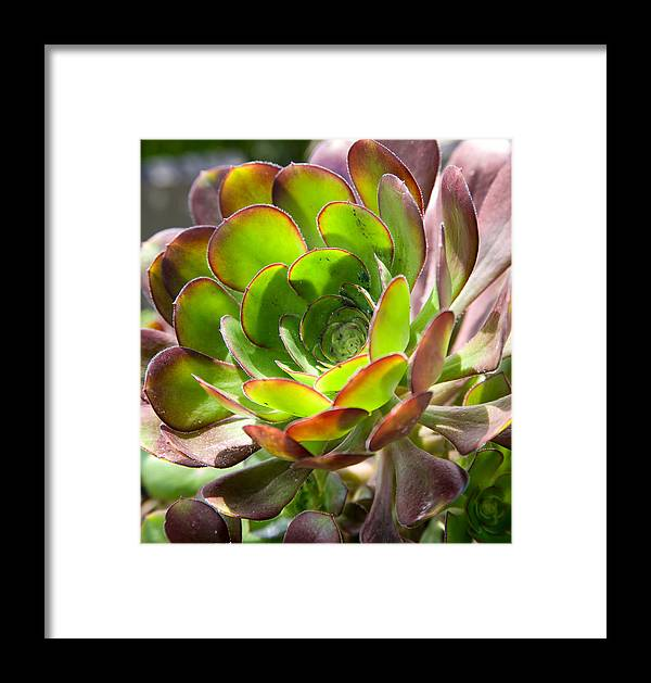 Plant Framed Print featuring the photograph Succulant In Light by Tony and Kristi Middleton