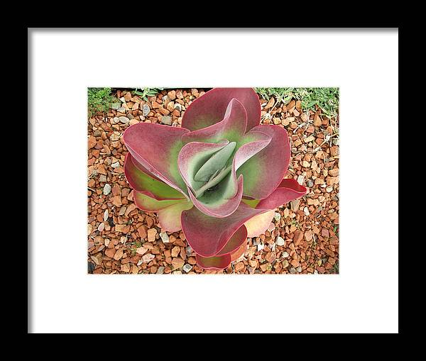 Plant Framed Print featuring the photograph Succulent by Rani De Leeuw