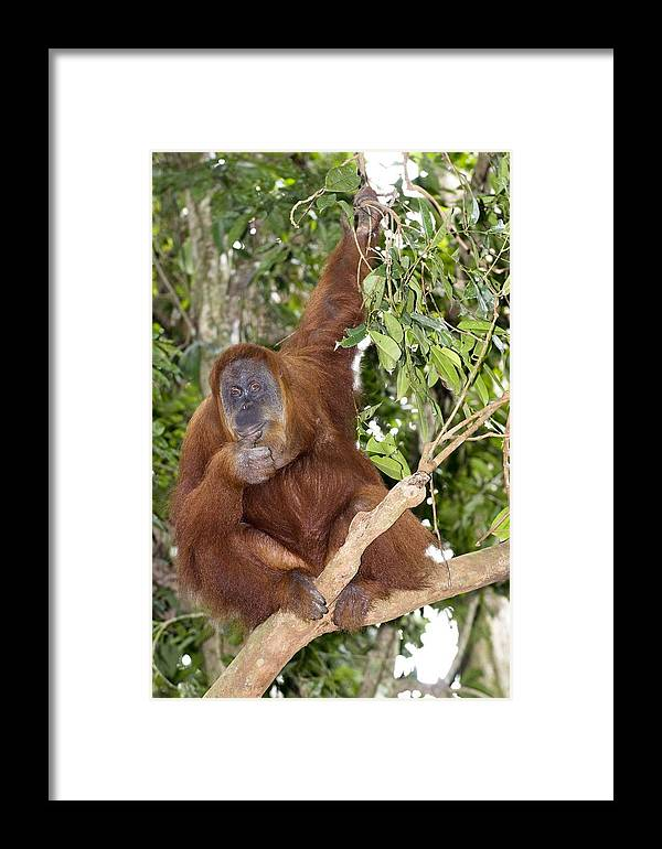 Pongo Abelii Framed Print featuring the photograph Sumatran Orangutan by Tony Camacho