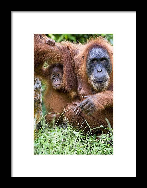 Pongo Abelii Framed Print featuring the photograph Sumatran Orangutans by Tony Camacho
