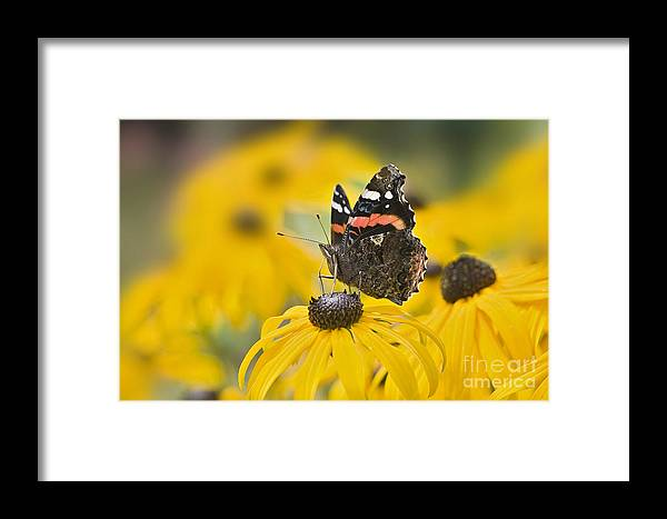 red Admiral Framed Print featuring the photograph Summer Stunner by Jacky Parker