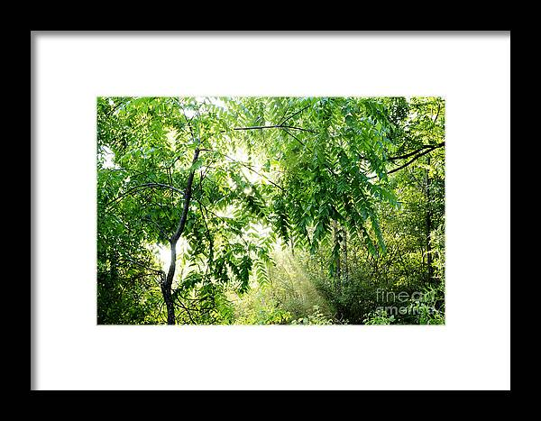 Juglans Nigra Framed Print featuring the photograph Sun Rays Through Black Walnut Leaves by Thomas R Fletcher