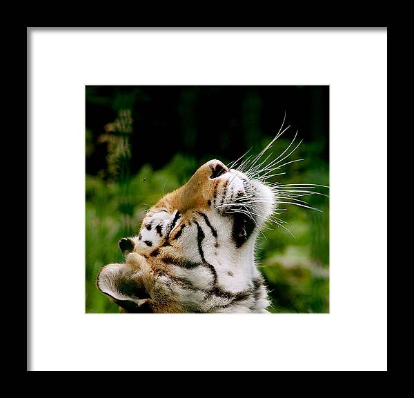 Tiger Framed Print featuring the photograph Sun Worshiping by Karen Grist