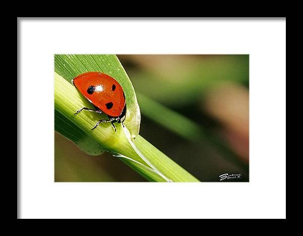 Sunbathing Framed Print featuring the photograph Sunbathing Ladybug by David Zinkand