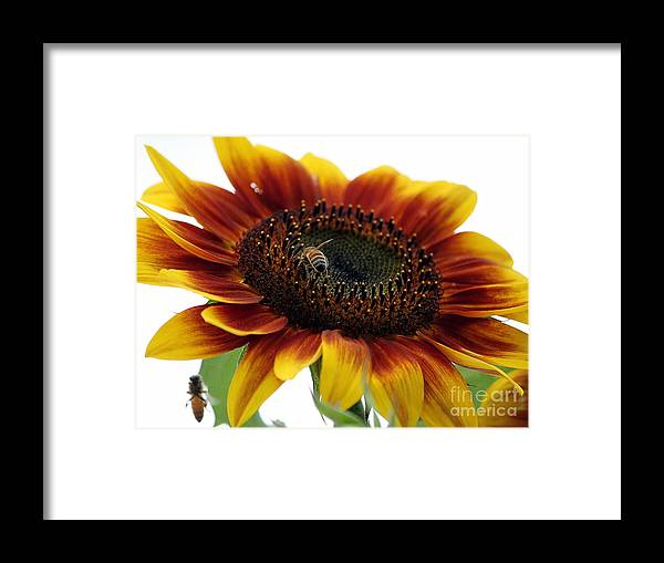 Sunflower Framed Print featuring the photograph Sunflower 1 by Erica Hanel