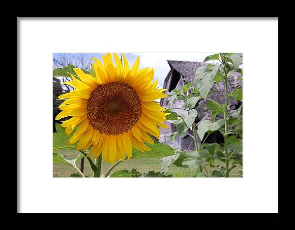 Sunflower Framed Print featuring the photograph Sunflower And Barn by Sam Perry