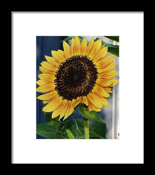 Flora Framed Print featuring the photograph Sunflower by Bruce Bley