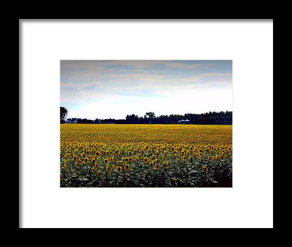 Flowers Framed Print featuring the photograph Sunflower Farm In North Dakota by Ed Golden