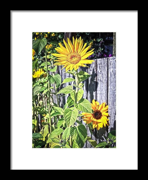 Sunflower Framed Print featuring the photograph Sunflower Fence by Steve McKinzie