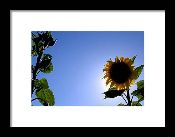 Sunflower Framed Print featuring the photograph Sunflower In The Sun by Eric Tressler