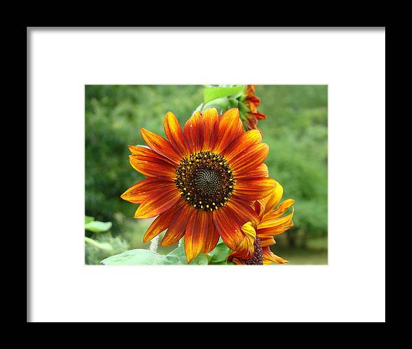 Red Sunflower Framed Print featuring the photograph Sunflower by Lisa Rose Musselwhite