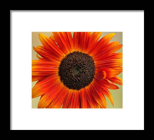 Color Framed Print featuring the photograph Sunflower by Ryszard Unton