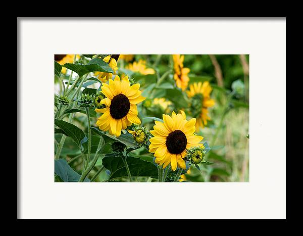 Sun Framed Print featuring the photograph Sunflowers by Ivan SABO