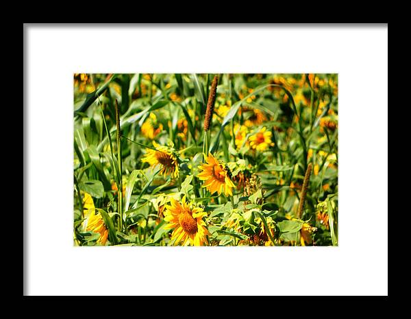 Sunflowers Framed Print featuring the photograph Sunflowers by Jennifer Compton