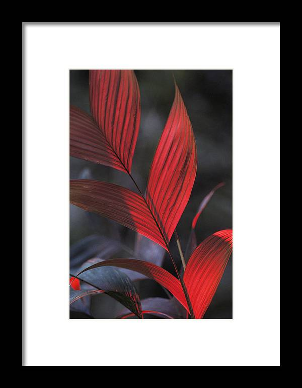 South America Framed Print featuring the photograph Sunlight Illuminates The Red Leaves by Michael Nichols