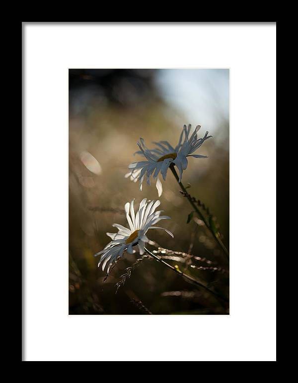 Flower Framed Print featuring the photograph Sunlit Daisies by Mike Reid