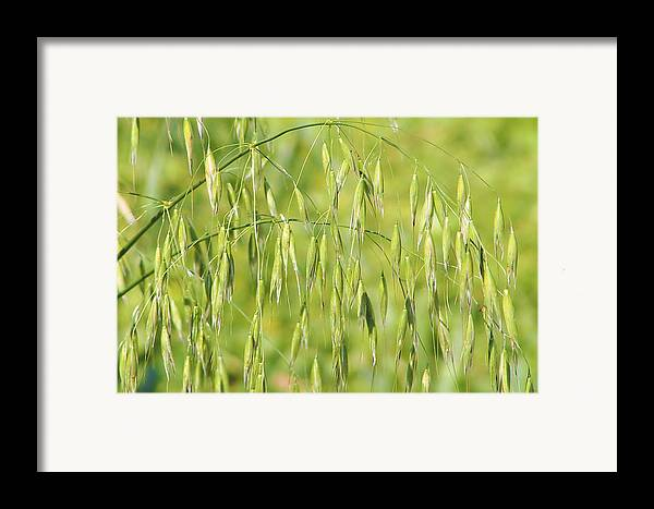 Oats Framed Print featuring the photograph Sunny Day At The Oat Field by Christine Till