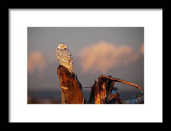 Snowy Owl Framed Print featuring the photograph Sunset Owl by Yoshiki Nakamura
