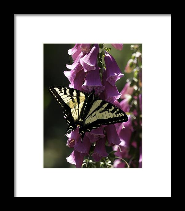 Butterfly Framed Print featuring the photograph Swallowtail And Foxglove by Betty Depee