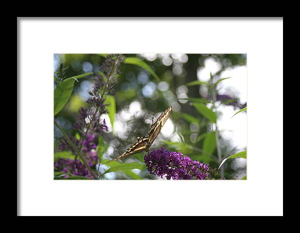 Butterfly Framed Print featuring the photograph Swallowtail Butterfly by Virginia Pakkala