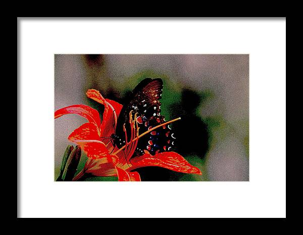 Swallowtail Framed Print featuring the photograph Swallowtail by Travis Truelove