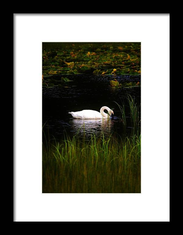 Swan Framed Print featuring the photograph Swan In September by Tammy Anderson