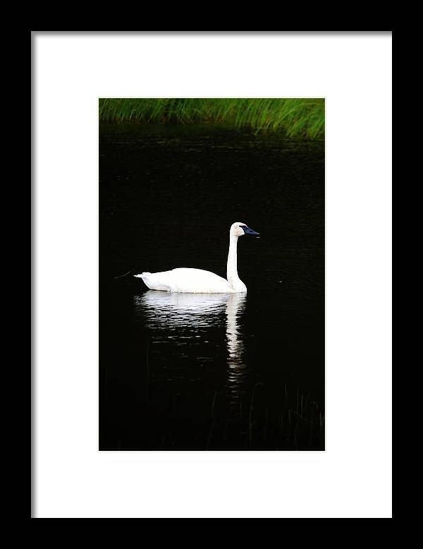 Swan Framed Print featuring the photograph Swan In Wispy Grass by Tammy Anderson