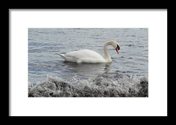 Swan Framed Print featuring the photograph Swan by Jessica Cruz