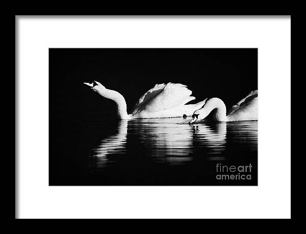 Northern Ireland Framed Print featuring the photograph Swans Feeding And Drinking by Joe Fox