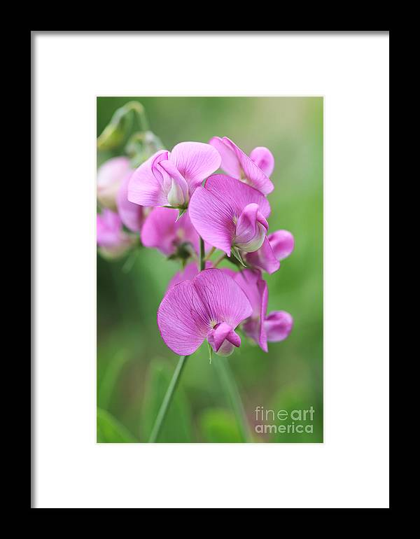 Sweet Pea Framed Print featuring the photograph Sweet Pea 1 by Neil Overy