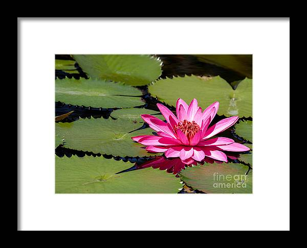 Macro Framed Print featuring the photograph Sweet Pink Water Lily In The River by Sabrina L Ryan