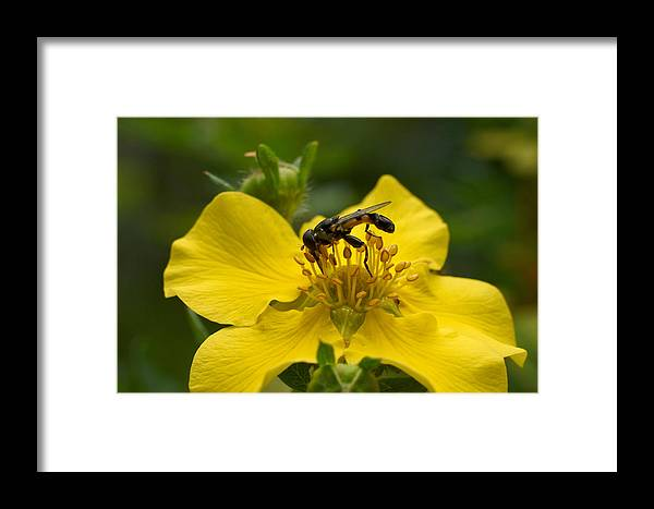 Hoverfly Framed Print featuring the photograph Syritta Pipiens by Jouko Lehto