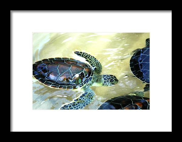 Sea Turtle Framed Print featuring the photograph Tag Along Turtle by Stacey Robinson