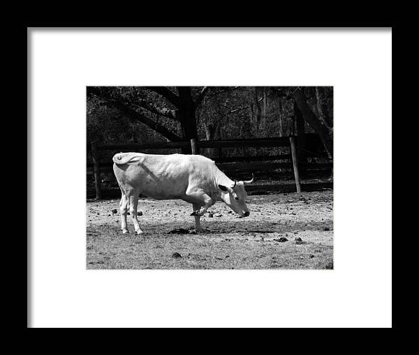 Cow Framed Print featuring the photograph Taking A Bow by Pamela Stanford